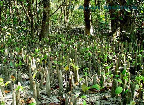 Sundarban Bagerhat 171 Mr Heart